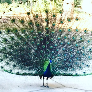 Blue Indian Peacock Train Spread